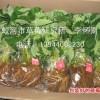 供应草莓苗、草莓原种苗-吉林省吉林市蛟河市新农街道关门村