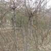 出售1.2米高蔷薇树 - 河南商丘梁园区谢集镇彭庄村