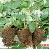 大量供应草莓种苗 - 吉林 蛟河 关门村