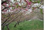 6亩桃园果园出售-北京平谷