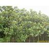 南京广玉兰等绿化苗木
