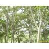 南京榉树等绿化苗木