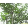 南京杜仲等绿化苗木