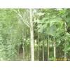 南京马褂木等绿化苗木