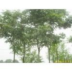 南京栾树等绿化苗木