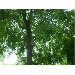 南京乌桕等绿化苗木