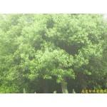 南京香樟等绿化苗木