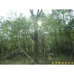 南京朴树等绿化苗木
