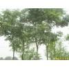 供应江苏南京栾树等多种绿化苗木