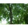 供应江苏南京乌桕等多种绿化苗木