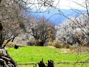 """近日,被誉为""""桃花村""""的西藏林芝市嘎拉村,桃花初绽,春意盎然。 (6)"""