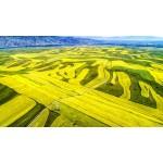 新疆伊犁:特克斯县的油菜花海