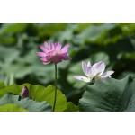 宁夏银川市的鸣翠湖国家湿地公园500亩荷花竞相开放