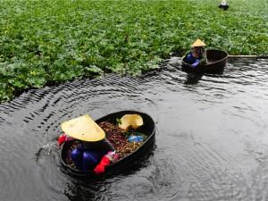 秋风起,采菱时,8月29日江南水乡江苏省无锡市滨湖区迎来采菱季 (2)