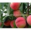 桃树苗批发13693869352,南阳桃树苗批发 桃树苗销售