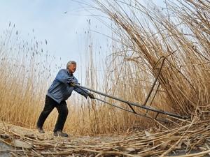 白洋淀:冬收芦苇巧生金 (3)