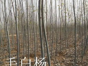 毛白杨10公分 (1)